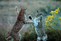 Bobcat boxing