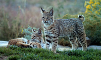 Young bobcats at attention
